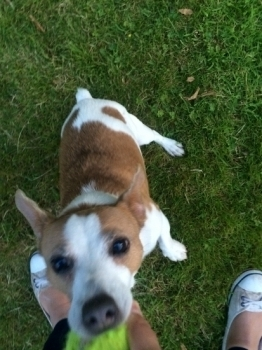Eric the lovely, playful jack russell!