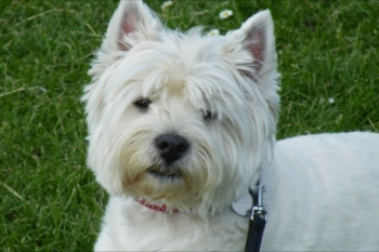 Beautiful, you can see why ´Westies´ won Crufts this year with such adorable faces!